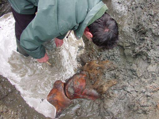 L'ivoire de mammouth : origine et exportation